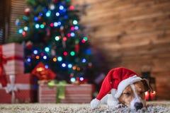 在一个圣诞树圣诞老人红色帽子下的杰克罗素有礼物的和 库存照片