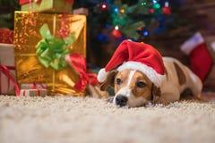 在一个圣诞树圣诞老人红色帽子下的杰克罗素有礼物的和 免版税库存图片