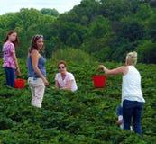 在一个地方农场的采摘草莓 免版税库存照片