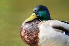 在一个地方湖的一只野鸭鸭子 库存图片