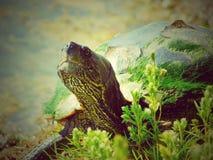 在一个地方鱼池的银行的被绘的乌龟 图库摄影