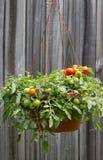 在一个垂悬的篮子的蕃茄 库存图片