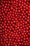 在一个垂直位置的可口,成熟和明亮的红浆果 明亮的红颜色无核小葡萄干不同的树荫  库存照片