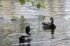 在一个城市池塘的野鸭野鸭在叶卡捷琳堡俄罗斯 图库摄影