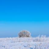 在一个域的冬天结构树与蓝天 免版税图库摄影