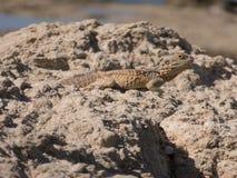 在一个塞浦路斯的海滩的蜥蜴 免版税库存照片