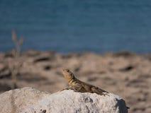 在一个塞浦路斯的海滩的蜥蜴 免版税库存图片