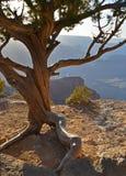 在一个壁架上面的一棵被风化的树在南外缘的,亚利桑那大峡谷 免版税库存图片