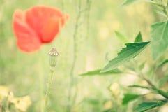 在一个夏天草甸的红色鸦片在一个晴天 免版税库存照片