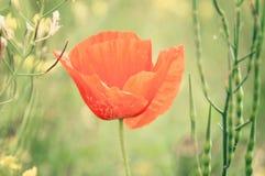 在一个夏天草甸的红色鸦片在一个晴天 免版税图库摄影