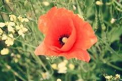在一个夏天草甸的红色鸦片在一个晴天 库存照片