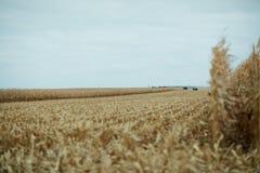 在一个多云雨天被收获的玉米 图库摄影