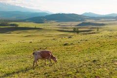 在一个多山领域的一头母牛 免版税库存图片