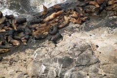 在一个多岩石的海滩的封印 免版税库存图片