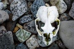在一个多岩石的海滩的被漂白的海狗头骨,南设得兰群岛,南极洲 库存图片