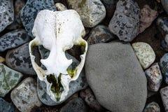 在一个多岩石的海滩的被漂白的海狗头骨,南设得兰群岛,南极洲 免版税库存图片