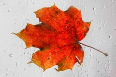 在一个多雨窗口的橙色秋天枫叶 秋季的概念 免版税库存照片