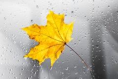 在一个多雨窗口的黄色秋天枫叶 秋季的概念 库存图片