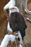 在一个多雪的分支的白头鹰 免版税库存照片