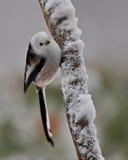 在一个多雪的分支的长尾的山雀 库存照片