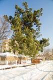 在一个多雪的堤防的一棵巨大的杉树在保加利亚语波摩莱,冬天2017年 库存图片