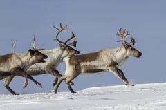 在一个多雪的寒带草原冬天跑的驯鹿 免版税库存图片