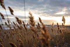 在一个多雪的海滩的黄色芦苇在日出的背景 图库摄影
