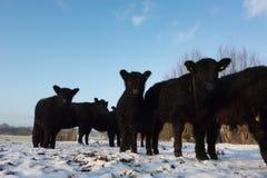 在一个多雪的草甸的盖洛韦牛 库存照片