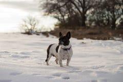 在一个多雪的领域的站立的法国牛头犬 库存照片