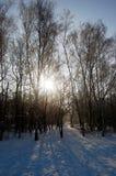 在一个多雪的风景的桦树 免版税图库摄影