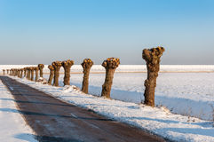 在一个多雪的风景的被修剪树枝的杨柳 免版税图库摄影