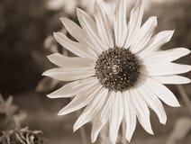 在一个大向日葵的一只蜂在夏天太阳 库存照片