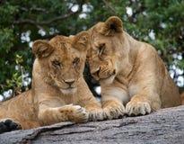 在一个大岩石的两个年轻人狮子 国家公园 肯尼亚 坦桑尼亚 mara马塞语 serengeti 图库摄影