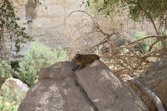 在一个大岩石的岩石非洲蹄兔 免版税图库摄影