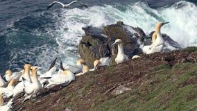 在一个大峭壁岩石的北gannets 库存图片