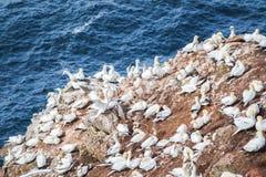 在一个大峭壁岩石的北gannets 免版税库存图片
