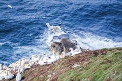 在一个大峭壁岩石的北gannets 免版税库存照片