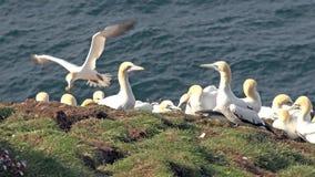 在一个大峭壁岩石的北gannets 图库摄影