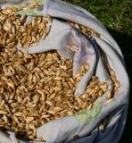 在一个大袋子的有机Einkorn麦子五谷 图库摄影