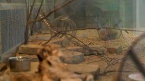 在一个大金属笼子视图的几只老鼠 股票视频