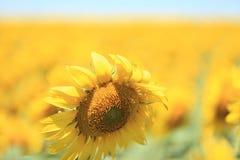 在一个大领域的向日葵 免版税库存照片