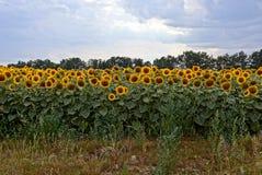 在一个大领域的很多黄色开花的向日葵反对天空 免版税库存图片