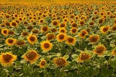 在一个大领域的许多黄色开花的向日葵 库存图片