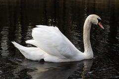 在一个安静的秋天湖的天鹅 秋天季节和湖有天鹅的 库存图片
