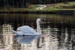 在一个安静的秋天湖的天鹅 秋天季节和湖有天鹅的 库存照片