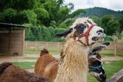 在一个宠爱的农厂动物园徒步旅行队寻找食物的特立尼达和多巴哥的骆马 图库摄影