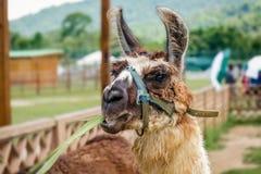 在一个宠爱的农厂动物园徒步旅行队寻找食物的特立尼达和多巴哥的骆马 库存照片