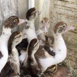 在一个家庭农场的鸭子烤焙用具 免版税库存照片