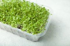 在一个容器的农夫新微绿色在白色背景 摆脱的毒素和健康饮食一个产品 免版税库存图片