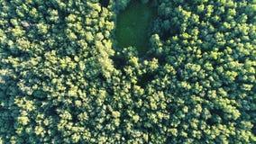 在一个密集的森林掩藏的沼地 影视素材